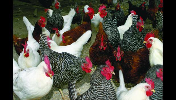40 Million birds destroyed in Iowa and Minnesota