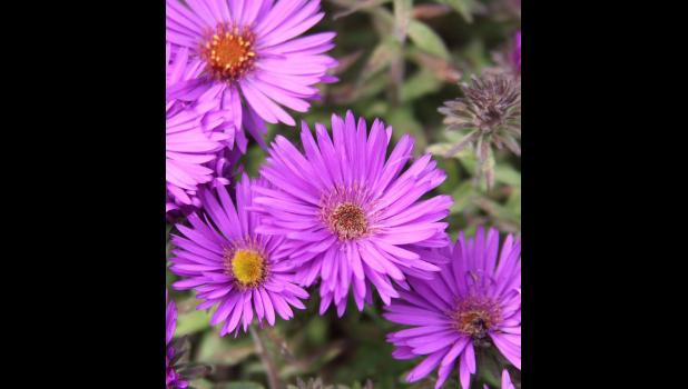 Purple Dome aster. Photo by Drew Avery.