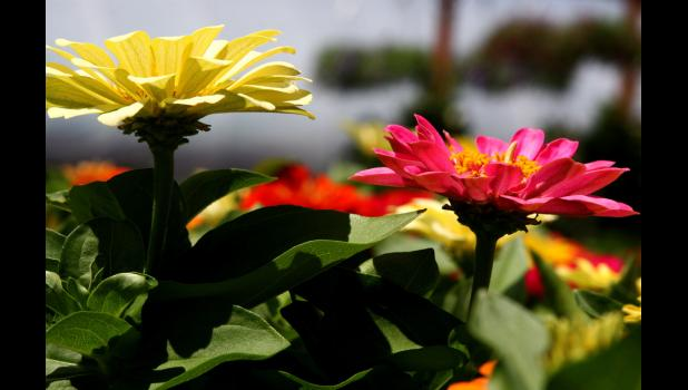Zinnias - Photo by Flickr user Liz West/CC BY-SA 2.0
