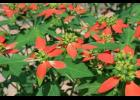 Painted leaf poinsettia is a perennial that grows wild in Missouri, especially the southern part of the state. Photo courtesy of Floridaseeds.